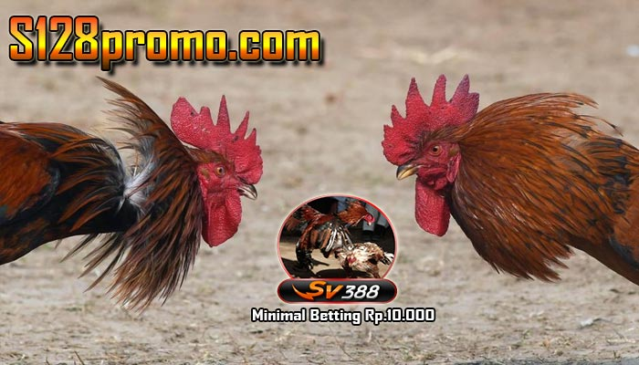 Sv388 Website Taruhan Sabung Ayam Live Streaming Terbaru