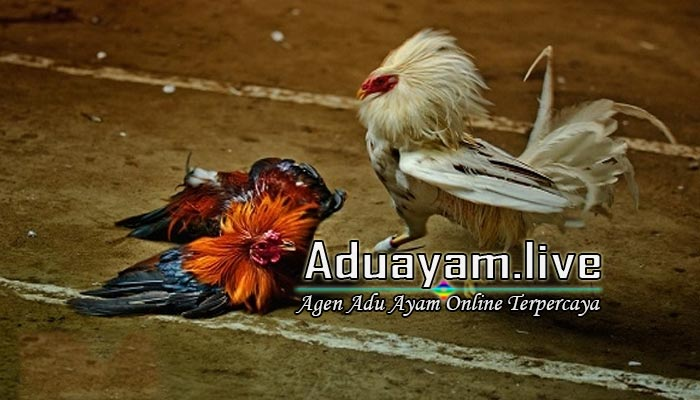 Website Terbaik Taruhan Judi Sabung Ayam S128 Live Streaming